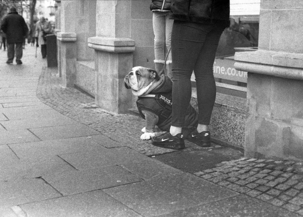 Young Bulldog sits patiently in Sheffield City Centre